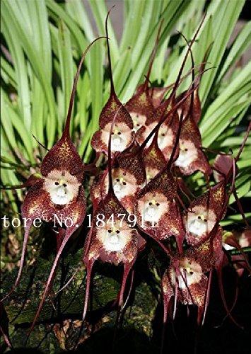 vente Big 100pc / lot vilain petites graines Mignon Pérou Monkey Face Orchid, Phalaenopsis principal Bonsai plantes Graines de fleurs