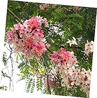 Seeds Cassia Javanica Seeds, Pink & White Shower Flowering Tree, Fragrant Garden 20 Seeds