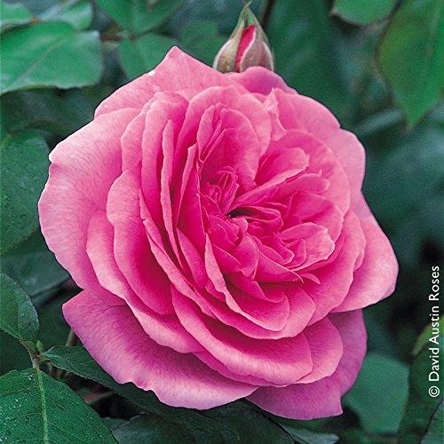 """Pflanzen Kölle Englische Rose """"Gertrude Jekyll (Premium) - rosa blühende Topfrose im 6 L Topf - frisch aus der Gärtnerei Gartenrose"""