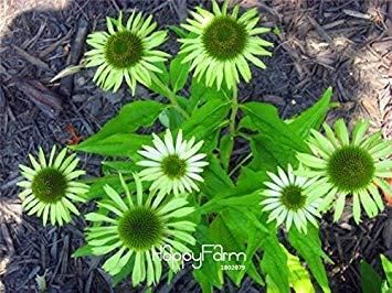 Fash Lady Verlust-Promotion!Echinacea Green Jewel Seeds, 10 Stück/Los, seltene grüne Coreflower Seeds Blumen für Zimmer Gartenpflanzen, GYFA5V
