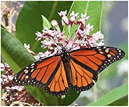 Common Milkweed Seeds - Asclepias syriaca - Attracts Monarch Butterflies