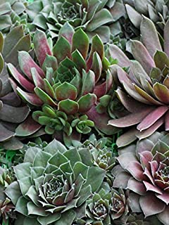 Perennial Farm Marketplace Sempervivum 'Hot Mix' (Hens & Chicks) Perennial, 1 Quart, Green/Red/Tan Foliage