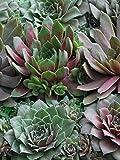 Perennial Farm Marketplace Sempervivum 'Hot Mix' (Hens & Chicks) Perennial, 1 Quart, Green/Red/Tan Foliage