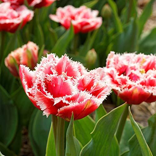 Tulpen zwiebeln,Mehrjährige Bonsai im Garten pflanzen,Wunderschönes Adelshaus-1,15zwiebelns