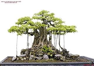 bansai Strangler fig - Banyan Tree - ficus benghalensis - 25+ Fresh Seeds