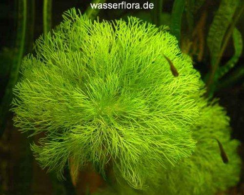 WFW wasserflora Riesenambulia oder Wasser-Sumpffreund/Limnophila aquatica - gigantea