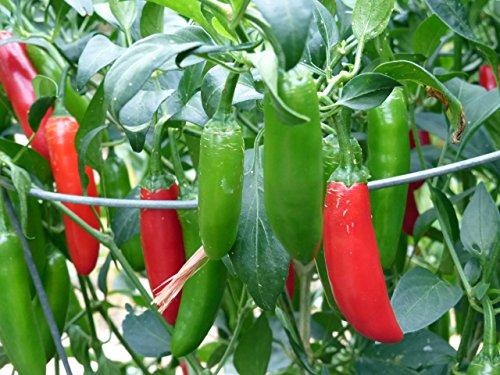 Asklepios-seeds® - 15 Semillas de chili serrano tampiqueno Serrano Sinahusia,