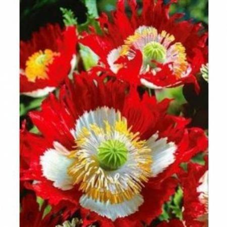 Sachet 200 graines de PAVOT DANOIS bicolore , rouge et blanc, fleur annuelle