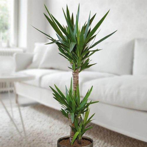 Standard Yucca Palmenkaufen. de 130 cm – 1 Plante