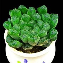 Live Fat Succulent Plant Mini Succulents (Haworthia cooperi Baker)