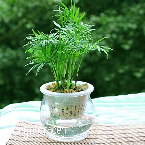 Vente chaude! 6 types Lucky Bamboo Choisissez Graines en pot Variété Dracaena complète Graines l'herbe Taux de 95%, 100 PCS / Bag, # RAPH58