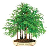 SwansGreen 2 : Forest Bonsai Metasequoia Dawn Mini Redwood Evergreen Ornamental Tree Plants Potted Indoor Office Purify The Air So Fresh 50 Pcs 2