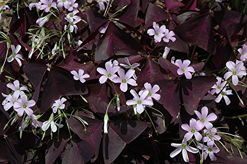Oxalis Triangularis (10 bulbs) - Purple Shamrocks for Indoors or Out!