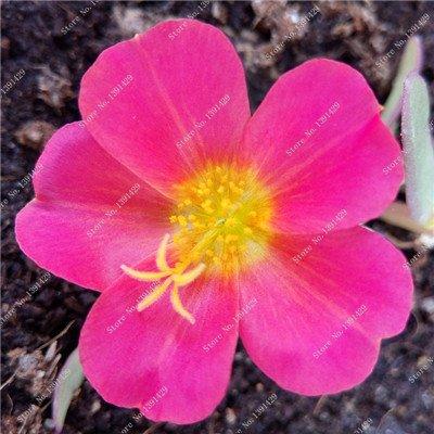 Graine coloré Portulaca, rose moussue Graine pourpier Double Flower Heat Tolerant, facile Semer des graines de fleurs en plein air 100 Pcs / lot 7