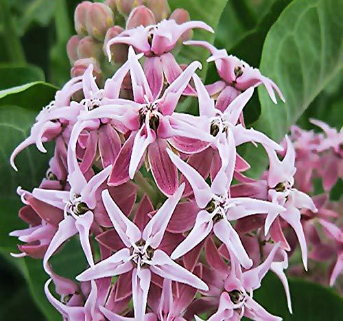 Big Pack - (1,000) Showy Milkweed Seeds, Asclepias Speciosa (Big Pack Showy Milkweed)