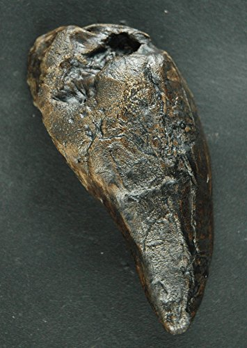 Tyrannosaurus rex, T-rex T. rex tooth fossil replica in Museum Quality. Animal fossils, replica, fossil imprint gift skeleton