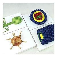 4個解剖人体モデル - 教育的科学キットラボ学習リソース - バキュロウイルス、アデノウイルス、ファージウイルスの微生物学ウイルスモデル 0922