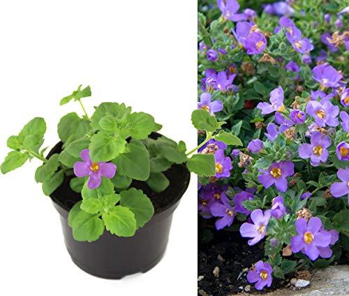 Isenzo Bacopa Schneeflockenblume Sutera DIFFUSUS Blumenbeet Planze Lebende Pflanze hängend