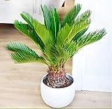 Acecoree Samen- Winterharte Palme Selten Palmfarn exotische Baum Fiederpalme winterhart mehrjährig Palme Baum Zimmerpflanzen für Terrasse/Balkon/Garten