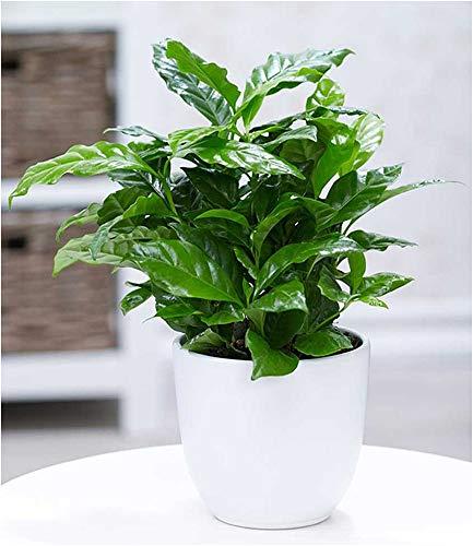 BALDUR Garten Coffea Arabica, 1 Pflanze Kaffeestrauch Zimmerpflanze Zimmerpflanze