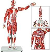 教育モデル78Cm / 27Part半等身大筋肉図、取り外し可能な臓器と筋肉の解剖学人間の筋肉と学校の臓器モデル