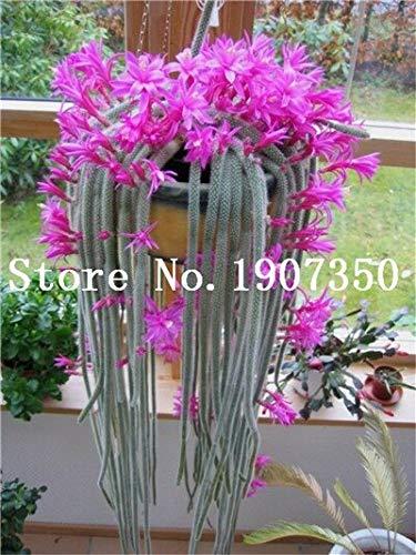 Kasuki 100 pcs Climbing Plant Echinopsis Tubiflora...