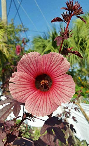 Nouvelle arrivée jardin 10 planter des graines fraîches Rosella Hibiscus sabdariffa Seeds Livraison gratuite