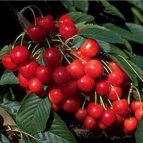 Obstbaum Kirsche Kirschbaum Busch Form rot Büttners rote Knorpelkirsche Süßkirsche 120-160 cm - hochwertige Baumschul Qualität direkt vom Fachhändler Hersteller: