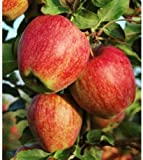 Semillas Pink Lady Fuji Gala de manzana Golden Delicious árbol nativo de frutas Domestica