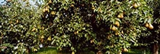 Posterazzi PPI147407L Pear trees in an orchard Hood River Oregon USA Poster Print 36 x 13