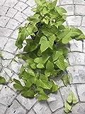 Süßkartoffel Rebstöcke 5 Fresh Stecklinge, Boden oder Wasser, Leicht zu Pflanze