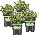 Bonnie Plants Lemon...image