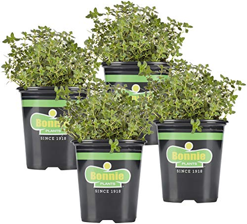 Bonnie Plants Lemon Thyme Live Herb Plants - 4 Pack, Perennial In Zones 7 to 9,...