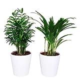 Plante d'intérieur en pot | Mix de petit palmier| Areca & chamaedorea | 2 Plantes vertes| plante de bureau| Hauteur 40 cm | Pot 12 cm | Entretien facile (pot en Céramique blanc)
