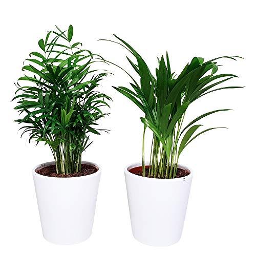 Árboles de interior de Botanicly | 2 × Mezcla de la palma de oro y la palma de la montaña en macetas exclusivos (blanco Diablo) | Altura: 40 cm | Areca, Chamaedorea