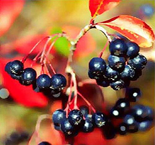 Big Pack - (1,000) Black Chokeberry Seeds, Aronia melanocarpa - Non-GMO Seeds by MySeeds.Co (Big Pack - Black Chokeberry)