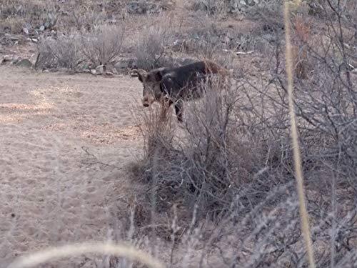 Big Texas Boars with Big Bore Air Guns!