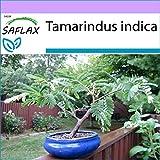 SAFLAX - Tamarindo/Dattero dell'India - 4 semi - Tamarindus indica
