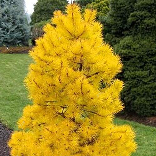 Tomasa Gartensamen- Selten Fichtensamen immergrün Baumsamen Hoher Baum Fichtensamen Gelb Zwergfichte winterhart mehrjährig Fichten Baum Pflanzensamen
