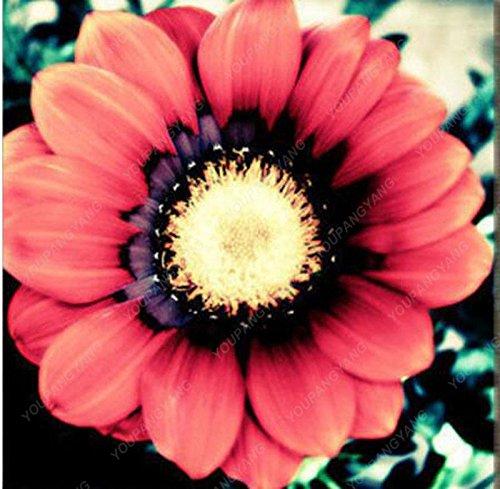 100pcs / sac couvre-sol Chrysanthème Seeds Facile à cultiver des graines de fleurs pour jardin Plantes Bonsai Bourgogne