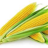 Benoon Semillas De Maíz, 1 Bolsa Semillas De Maíz Semillas De Maíz Ceroso Dulce De Alta Tasa De Germinación Natural Para Invernadero Amarillo Semillas de maiz
