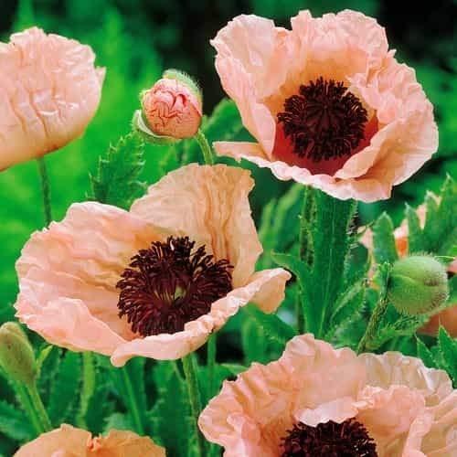 Tomasa Samenhaus- 100 Stück Mohnblume Turkish Selten Gartenmohn Blumensamen winterhart mehrjährig klatschmohn Saatgut bienenfreundliche für Garten