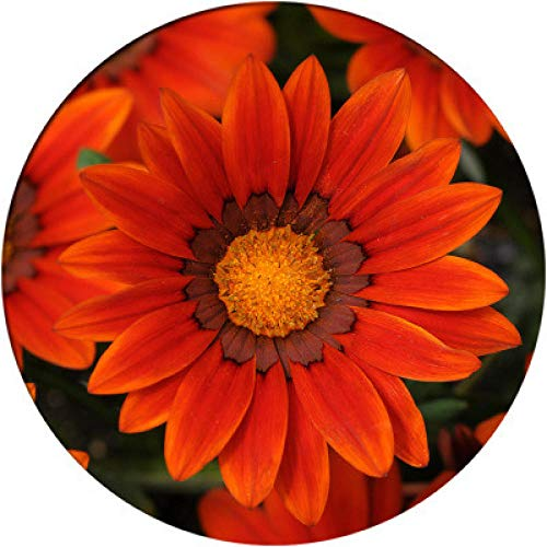 XINDUO Mehrjährig Blumen,Einfache Pflanzenmedaille Chrysanthemenblüte Samenrot_0,5 kg,Blüten Saatgut mehrjährig