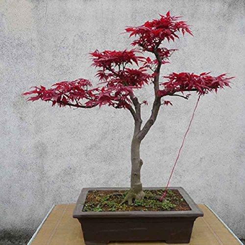 XdiseD9Xsmao 10 Stks Japanse Esdoorn Boom Acer Palmatum Zaden Plant Zaden Tuin Thuis Balkon Office Decoratie Bonsai