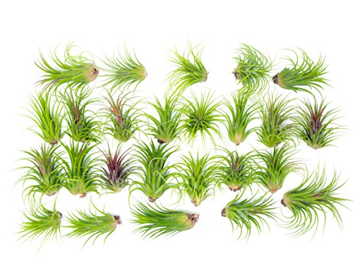 25 Large Ionantha Tillandsia Air Plant Pack - Each 2 to 3.5 Inches Long - Live Tropical House Plants for Home Decor - Indoor Terrarium Air Plants