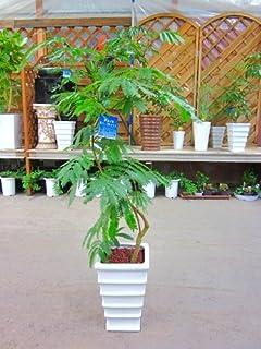 エバーフレッシュ(ねむの木) 8号鉢