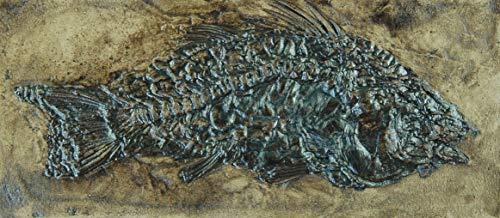 Fisch Fossil aus der Grube Messel Amphiperca multiformis Replik in Museums Qualität; Fossilien Nachbildung, Replikat Tierfossilien Tiere