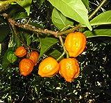 FERRY Graines Bio ne Pas Plantes: Iboga Seed Pod Frais - Tabernanthe iboga (= 100 graines Moyennes des graines, mais varie de 100 à 30 GRAINES) en