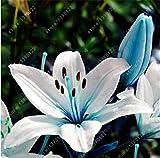 bulbos de lirio verdadero, flor del lirio, lirio (no...