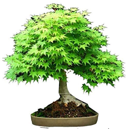 Dasado Seeds Lot de 5 graines de bonsaï pour jardinage ou balcon Rouge 5Pcs Pentagonal